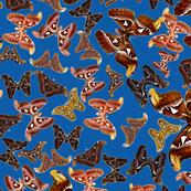 atlas butterfly blue