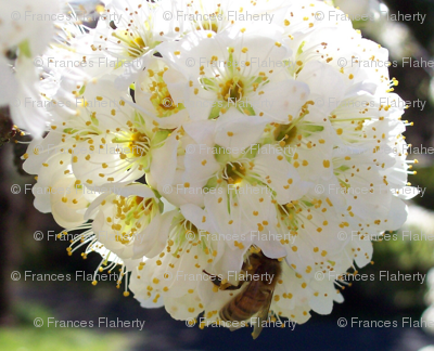Bee_on_white_blossom_preview