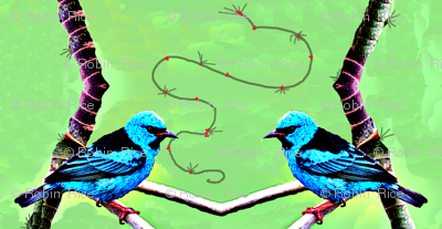 Blue Tanagers