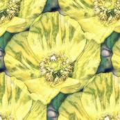 Shabby yellow Iceland poppy
