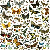 Rrrrrrrrlarge_square_butterfly_poster_shop_thumb