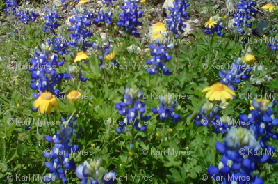 blue bonnets & yellow flowers small