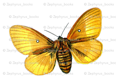 Butterfly Bombyx quercus