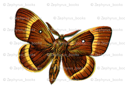 Butterfly / Moth Bombyx_quercus_male
