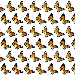 Butterfly Danaus chrysippus