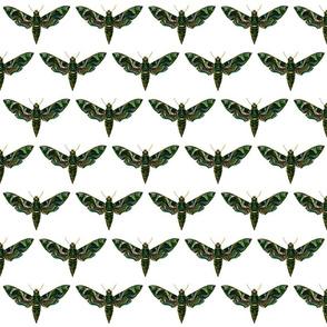 Moth Deilephila Nerii