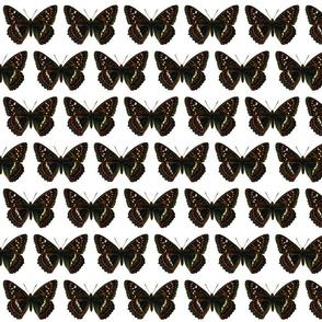 Butterfly Limenitis populi (male)