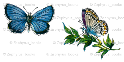 Butterfly Plebeius idas (male)