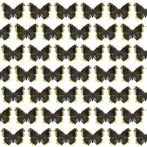 Butterfly Nymphalis antiopa