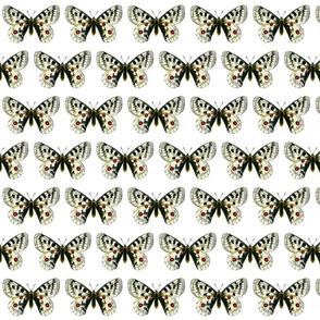 Butterfly Parnassius apollo