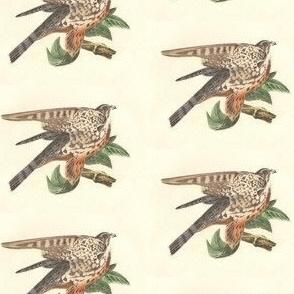 The Pigeon Hawk (Merlin) - Bird / Birds of Prey