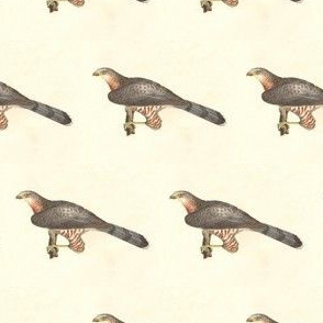 Cooper's Hawk - Bird / Birds of Prey