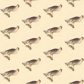 Sharp Shinned hawk - Bird / Birds of Prey