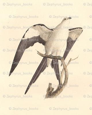 Swallow-tailed Kite - (Hawk) Bird / Birds of Prey
