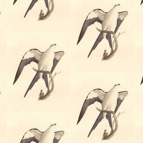 Swallow-tailed Kite - (Hawk) Bird / Birds of Prey