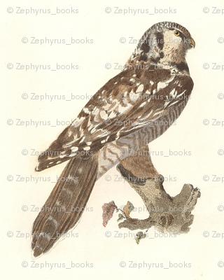 Northern Hawk Owl - Vintage Bird / Birds of Prey Print