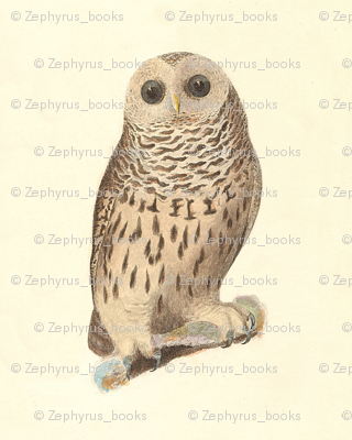 The Barred Owl - Vintage Bird / Birds of Prey Print