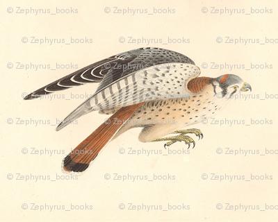 American Sparrow Hawk (American Kestrel) - Bird / Birds of Prey