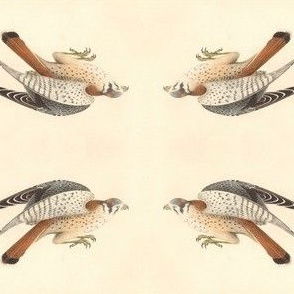 American Sparrow Hawk (American Kestrel) - Bird / Birds of Prey