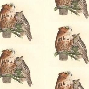 The Little Screech Owl - Vintage Bird / Birds of Prey Print