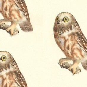 Northern Saw-whet Owl - Vintage Bird / Birds of Prey Print