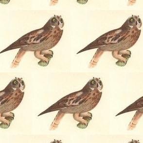 The Short-eared Owl - Vintage Bird / Birds of Prey Print
