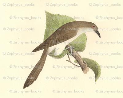 The Black-billed Cuckoo - Bird / Birds