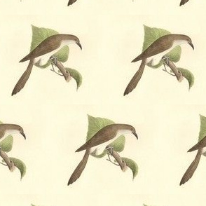 The Black-billed Cuckoo - Bird / Birds