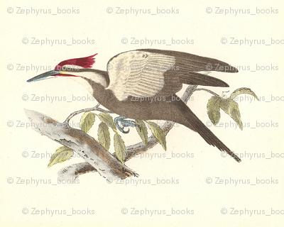 Pileated Woodpecker - Vintage Bird / Birds Print