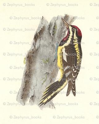 Yellow-bellied Sapsucker - Vintage Bird / Birds Print