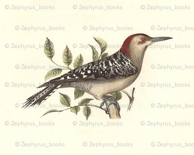 The Red-bellied Woodpecker - Vintage Bird / Birds Print