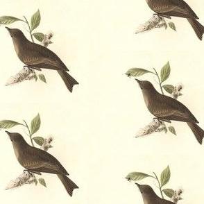 The Wood Pewee - Bird / Birds