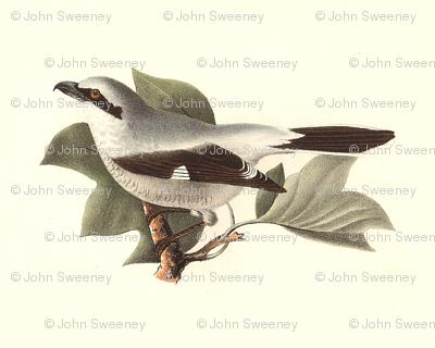 The Northern Butcher-Bird / Birds