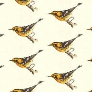 The Blackburnian Warbler - Bird / Birds