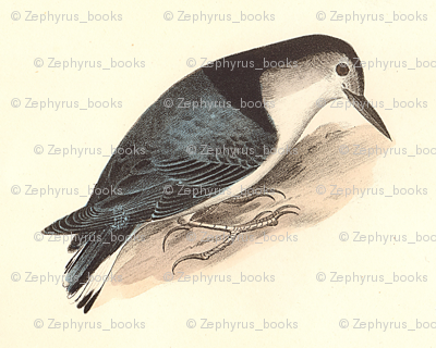The White-breasted Nuthatch - Bird / Birds