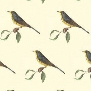 The Spotted Canada Warbler - Bird / Birds