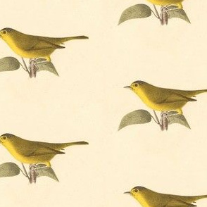 The Green Black-capped Warbler - Bird / Birds