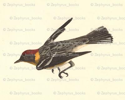 The Bay-breasted Warbler - Bird / Birds