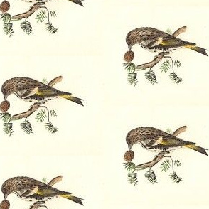 The Pine Finch (Pine Siskin) - Bird / Birds