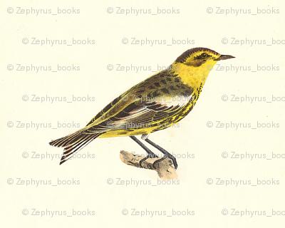 The Cape-May Warbler - Bird / Birds