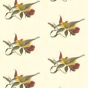 The Blue-winged Warbler - Bird / Birds