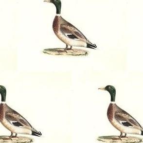 The Mallard (Wild duck) Bird - Birds / Ducks & Geese (Goose)