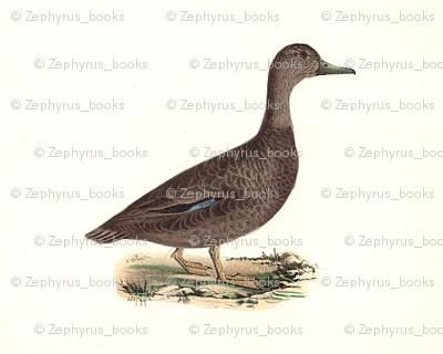 The Black Duck Bird - Birds / Ducks & Geese (Goose)