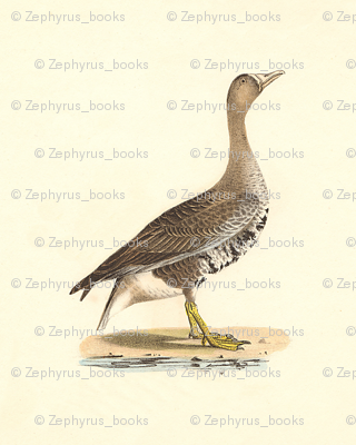 The White-footed Goose Bird - Vintage Bird / Birds Print