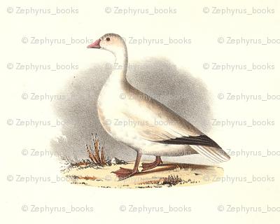 The Snow Goose Bird - Vintage Bird / Birds Print