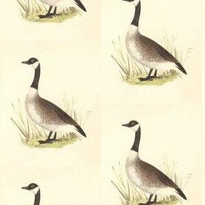 The Wild Goose (Canada Goose) Bird - Vintage Bird / Birds Print