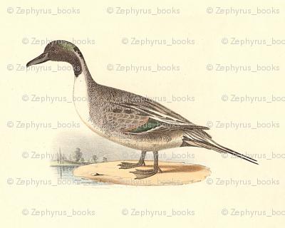 The Pintail Duck Bird - Birds / Ducks & Geese (Goose)