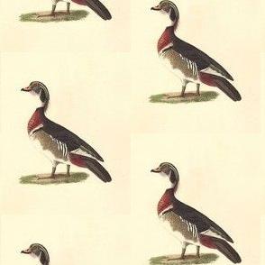 The Wood Duck Bird - Birds / Ducks & Geese (Goose)