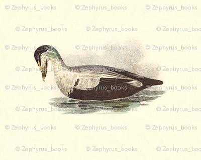 The Eider Duck Bird - Birds / Ducks & Geese (Goose)