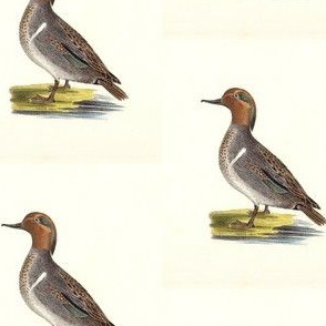 The Green-winged Teal Bird - Birds / Ducks & Geese (Goose)